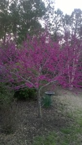 Tree of Life (eastern redbud in my garden)