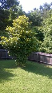 My Baby Magnolia