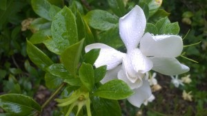 Gardenia: The Scent of the South